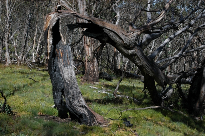 THE RESULT OF BUSH FIRES AND STRONG ALPINE WINDS.