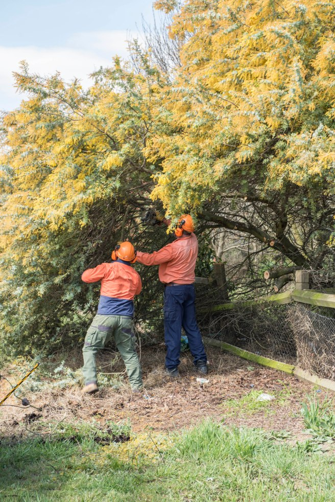 wattle-removal_09sep2016_0017-copy-3