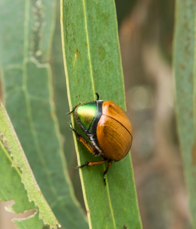 blog-christmas-beetles_30dec-2016_0007-copy