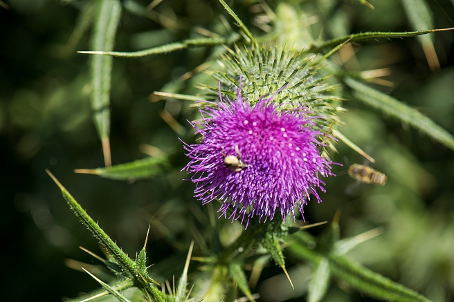blog-thistle-and-insects_13jan-2017_0011-copy