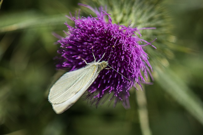 blog-thistle-and-insects_13jan-2017_0015-copy