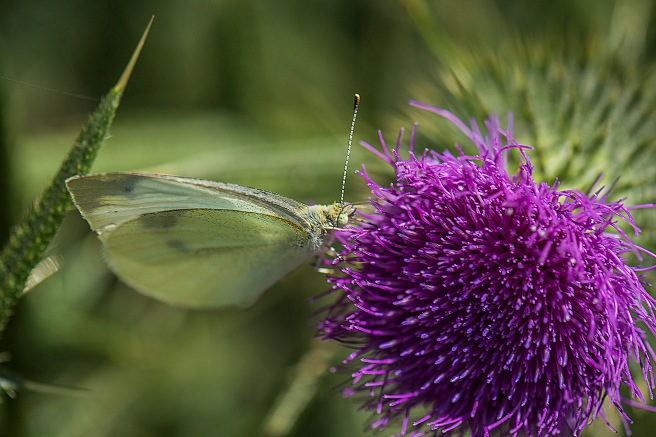 blog-thistle-and-insects_13jan-2017_0019-copy