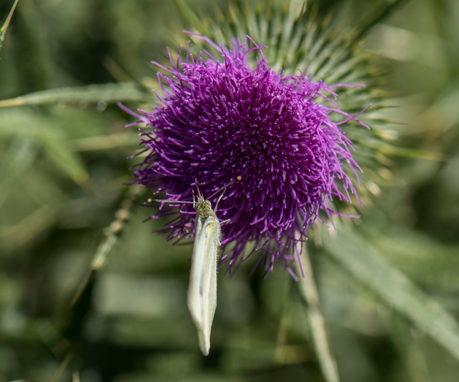blog-thistle-and-insects_13jan-2017_0022-copy